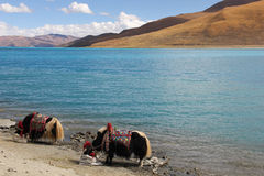 Yaks at Yamdrok Lake, Tibet Stock Photography