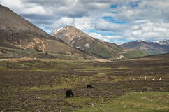 Yaks in Yunnan Stock Image