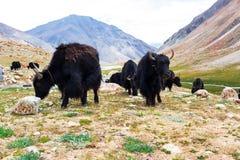 Yaks z naturalnym krajobrazem w Leh Ladakh Fotografia Royalty Free