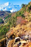 Yaks z torbami wolno zestrzelają halną ścieżkę w himalajach zdjęcia royalty free