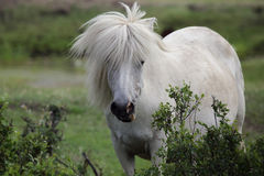 Yakut άλογο Στοκ Εικόνα
