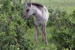 Yakut foal Στοκ φωτογραφία με δικαίωμα ελεύθερης χρήσης