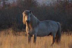 Yakut häst som delen av kultur Royaltyfria Foton