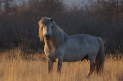 Yakut horse as part of culture Royalty Free Stock Photos