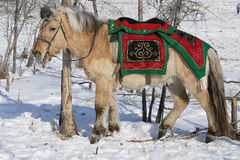 Yakut horse in festive attire. Royalty Free Stock Image