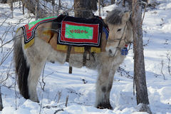 Yakut horse in festive attire. Stock Images