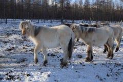 Yakut horse Stock Image