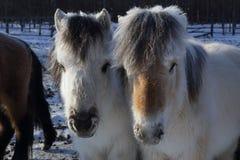 Yakut horse Royalty Free Stock Image