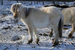 Yakut horse Stock Photo