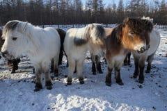 Yakut horse Royalty Free Stock Photos