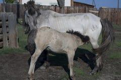 Yakut horses Royalty Free Stock Photography