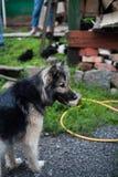 Yakut Laika na natureza fotografia de stock royalty free