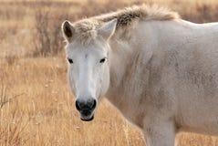 Yakut paarden in Oymyakon stock afbeelding