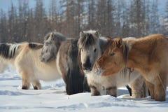 Yakut paarden Oymyakon, Yakutia Rusland stock foto's