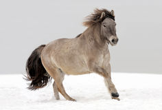 Yakut pony on snow Stock Image