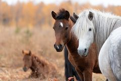 Close up of wild yakutian horse family with lying colt royalty free stock photography