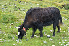Yakvieh in der tibetanischen Bereichswiese Lizenzfreie Stockfotos