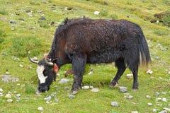 Yakvieh in der tibetanischen Bereichswiese Stockbild
