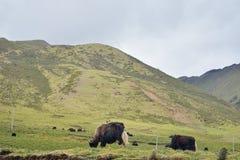 Yakvieh in der tibetanischen Bereichswiese Lizenzfreies Stockfoto