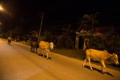 YALA,泰国- 8月17 :走在街道上的母牛在夜期间我 图库摄影