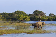 Yala elephants Stock Photography