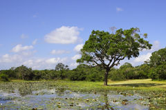 Yala landscape with water lillies Royalty Free Stock Image
