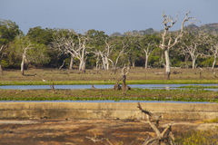 Yala National Park Royalty Free Stock Photography