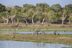 Yala National Park Stock Image