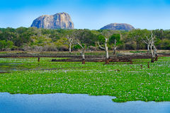 Yala National Park, Sri Lanka, Asia. Beautiful landscape, lake with water flowers and old trees. Forest in Sri Lanka, Big stone ro Stock Image