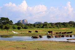 Yala national park in Sri Lanka, with birds and cattle Stock Photo