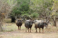 Yala National Park in Sri Lanka. A herd of buffaloes. royalty free stock photos