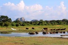 Yala nationalpark i Sri Lanka, med fåglar och nötkreatur Arkivfoto