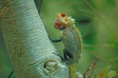 Yala parkerar Forest Lizard royaltyfri bild