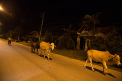 YALA, THAILAND - AUGUST 17: Cow walking on street during night i. N Yala, Thailand - Yala is southmost province in Thailand on Aug 17, 2013 A.Muang Yala stock photography