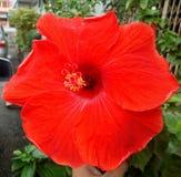 Yala vermelho bonito Tailândia da foto do hibiscus da flor Imagem de Stock Royalty Free