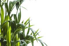 Yallow palm Chrysalidocarpus lutescens. leaves on white backgr Stock Photography