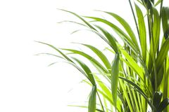 Yallow palm Chrysalidocarpus lutescens. leaves on white backgr Royalty Free Stock Photography