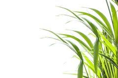 Yallow palm Chrysalidocarpus lutescens. leaves on white backgr Stock Photo