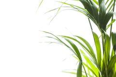 Yallow palm Chrysalidocarpus lutescens. leaves on white backgr Stock Photos