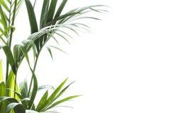 Yallow palm Chrysalidocarpus lutescens. leaves on white backgr Royalty Free Stock Photo