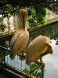 Pink pelican in Yalta zoo in Crimea stock images