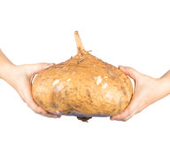 Yam bean isolated on white background Royalty Free Stock Image