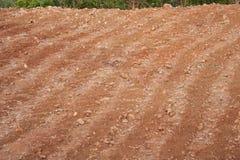 Yam field Stock Image