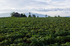 Yam field. In rural of Thailand Royalty Free Stock Image