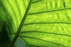 Yam leaf royalty free stock images
