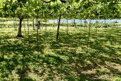 Yamanashi Grape Farm. A grape vineyard in Yamanashi, Japan Stock Photos