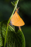 Yamfly butterfly Stock Photos