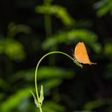 Yamfly butterfly Royalty Free Stock Photos