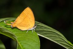 Yamfly fjäril Arkivfoton