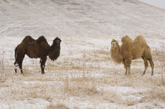 In' and Yan'. Couple of camels in the winter on Ush-Konyr plateau Stock Photo